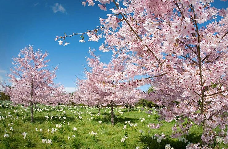 Cherry trees in blossom, Auckland's Best Flower Walks