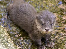 De-Stress With Melbourne Zoo's Adorable Otter Live Cam Streaming 24/7