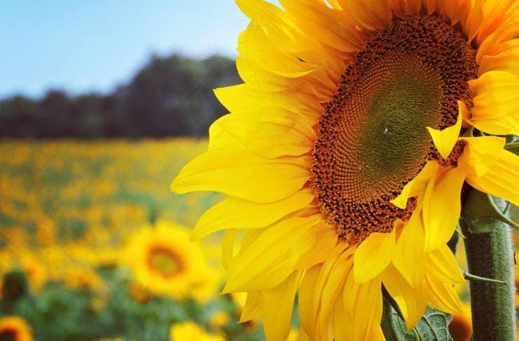 bellarine-sunflowers