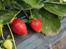 Sweet! It's Strawberry Picking Season And We've Found The Perfect Farm For You To Visit