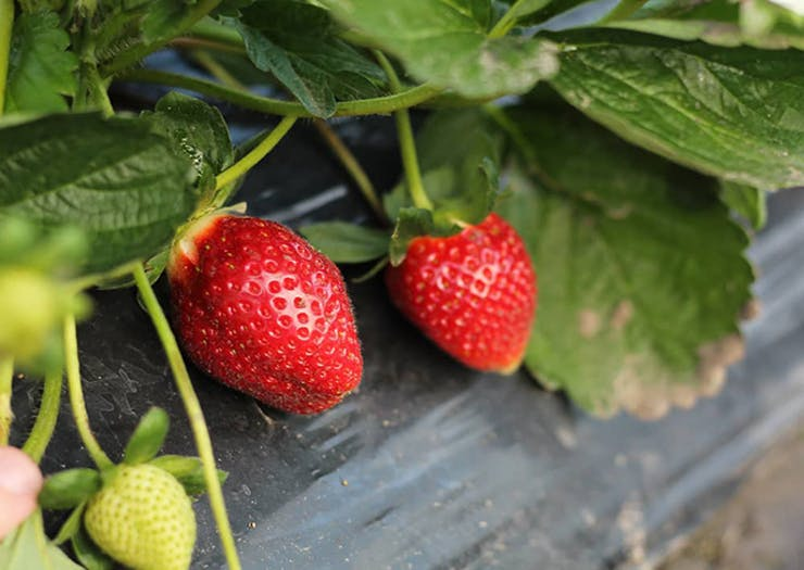 It's Strawberry Picking Season And We've Found The Perfect Farms To Visit