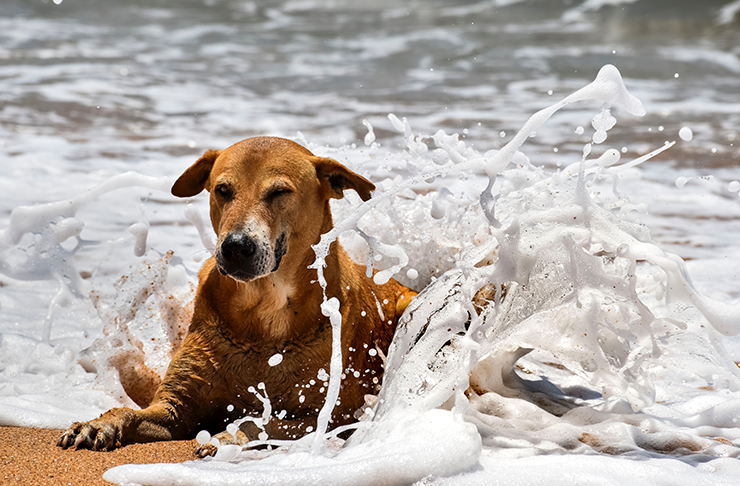 a dog laying in the shalllows at one of Melbourne's best dog beaches.