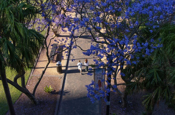 A top-down view of a flowering jacaranda tree in a Sydney park.
