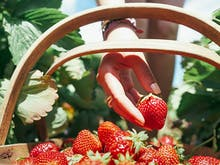 6 Of The Best Places To Pick Strawberries In And Around Auckland