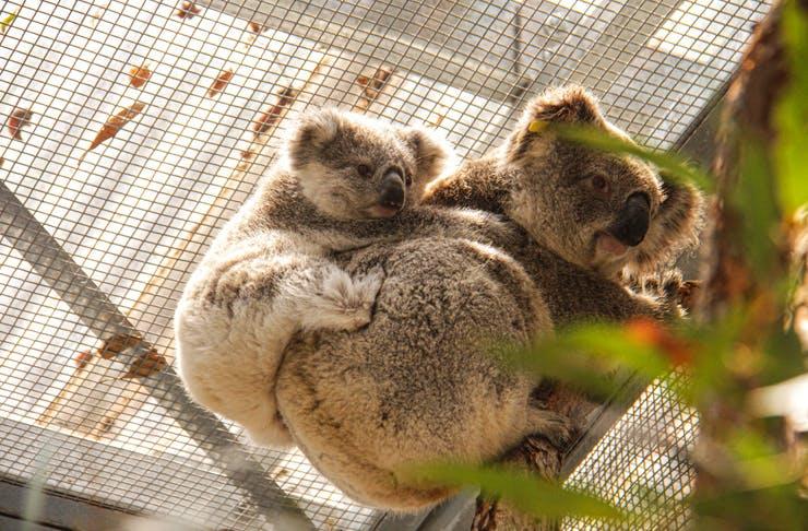 Blue Mountains Koalas
