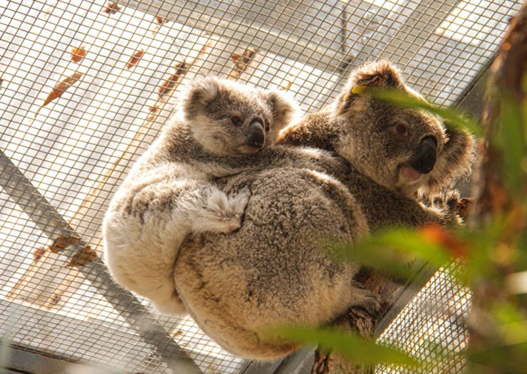 Peep The Very Cute Blue Mountains Koalas Rescued By Taronga And Science For Wildlife This Week