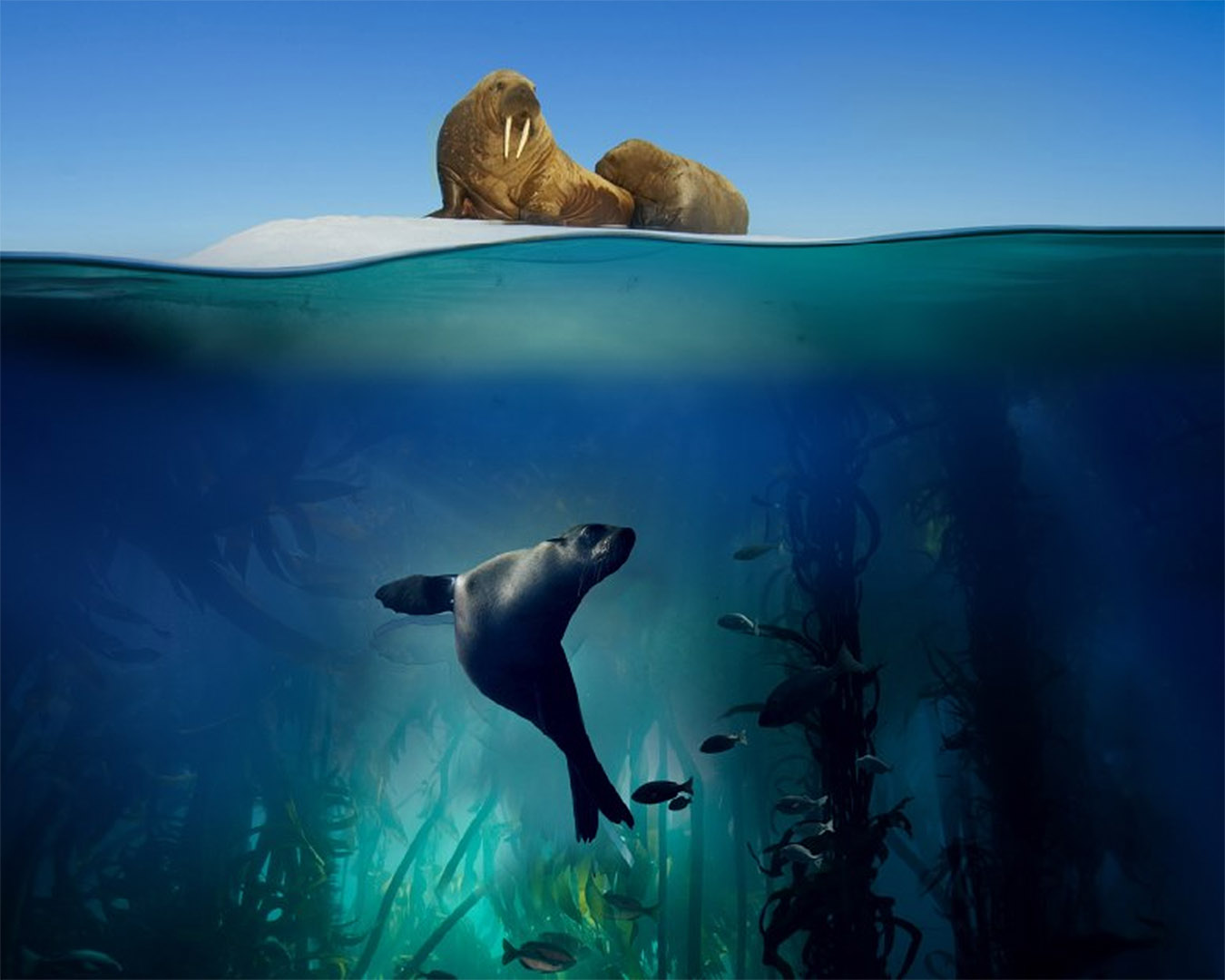 A seal below and a walrus above in a cross section image of the sea.