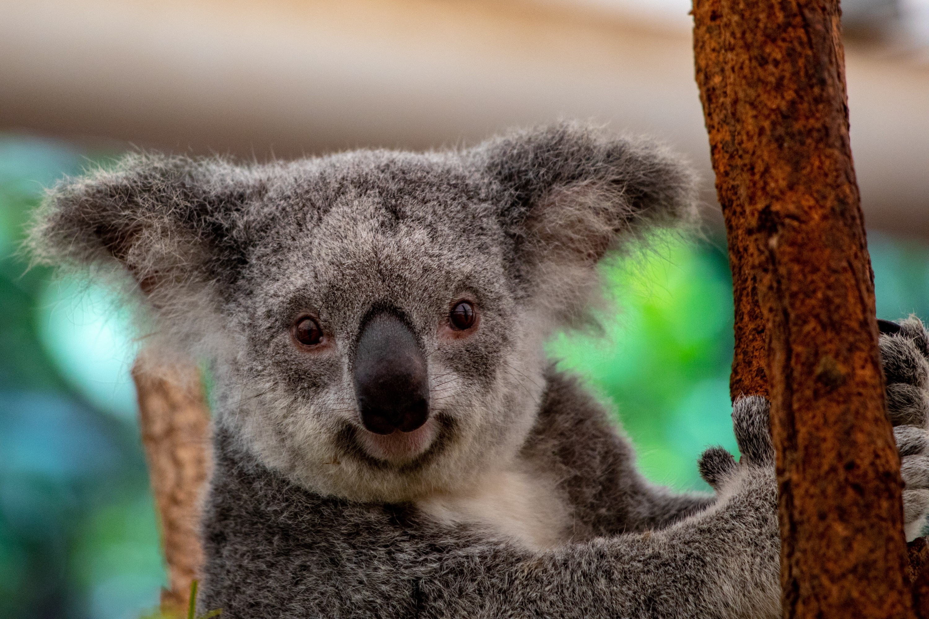 A koala holding on to a gumtree while looking into the camera.