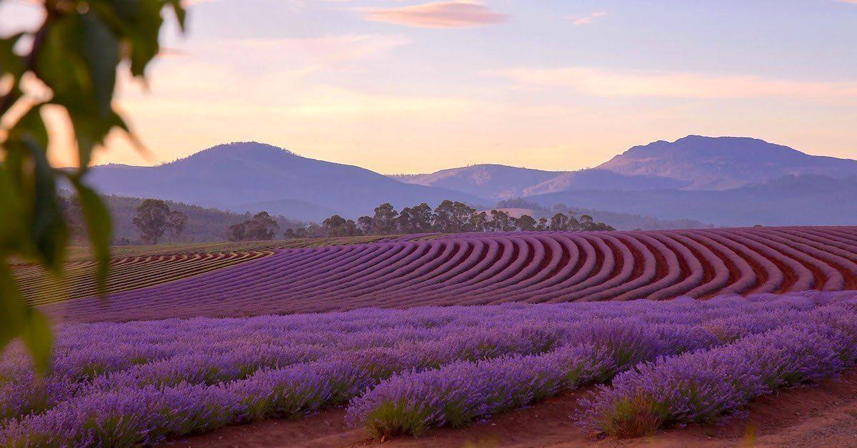 A sunset shot of Bridgestowe Lavender Farms.