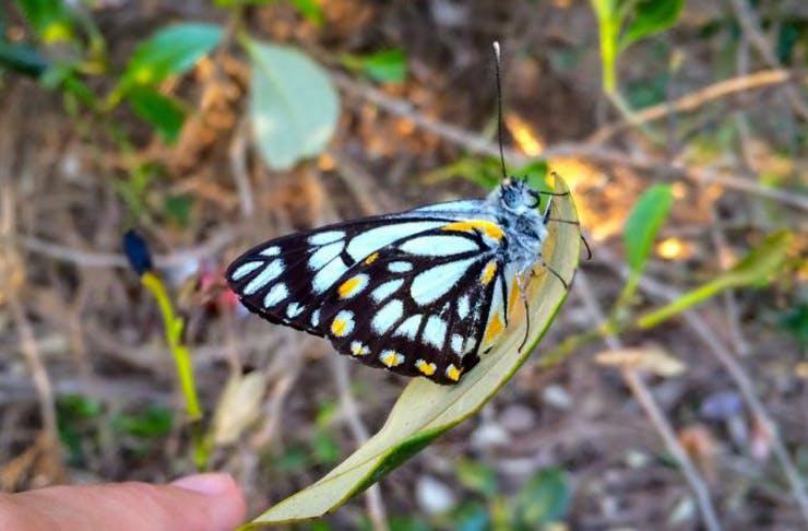 Butterfly swarm, Brisbane