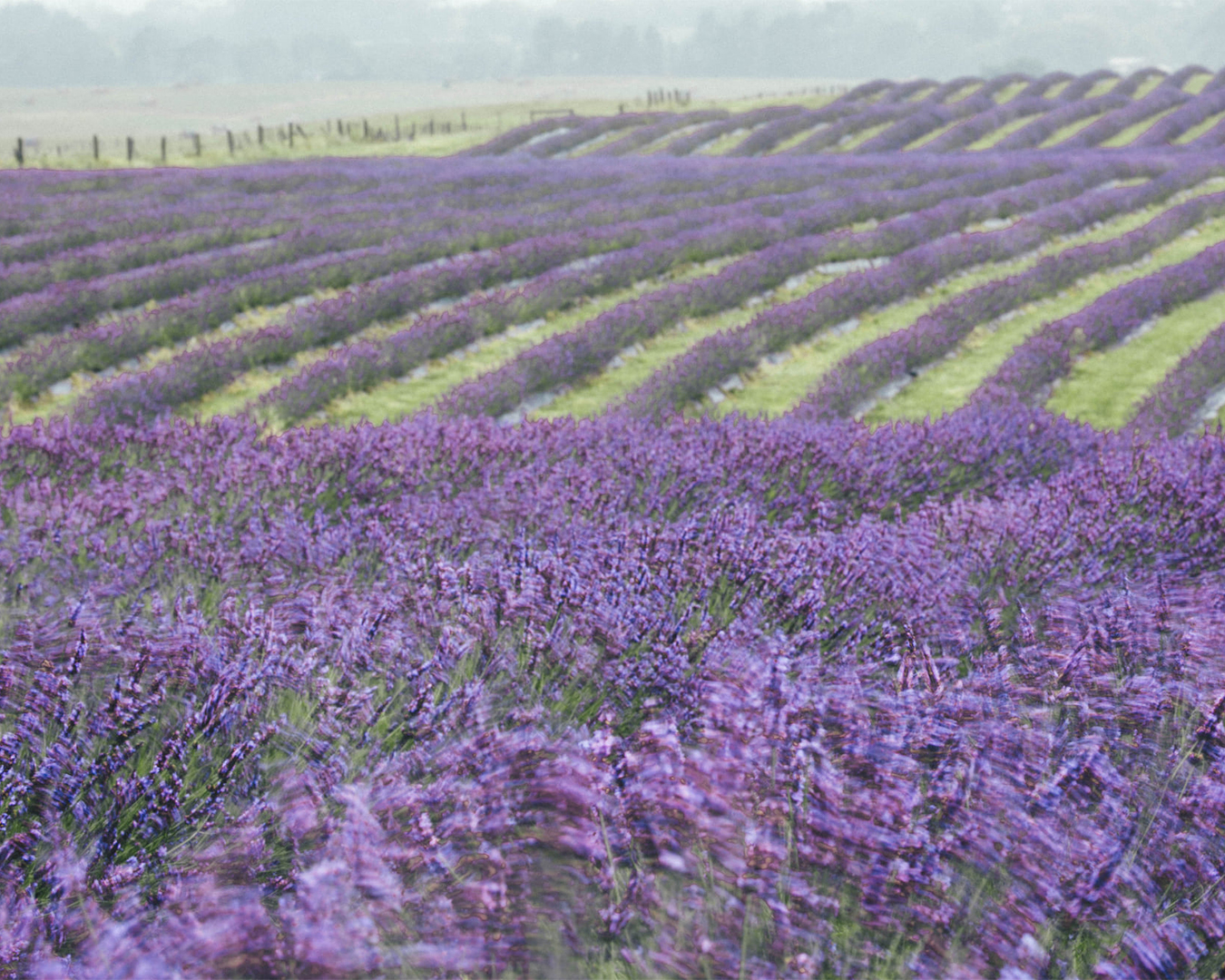 Rows upon rows of lovely lavender stretches into the distance.