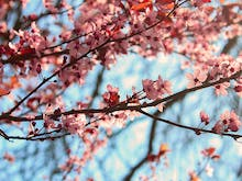 What You Need To Know About Victoria's Upcoming Cherry Blossom Festival