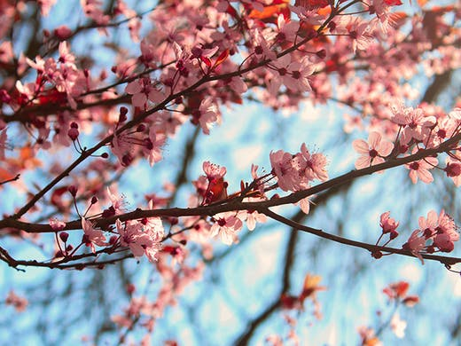 Get Going Here S Where To Find Cherry Blossom Trees In Perth Urban List Perth