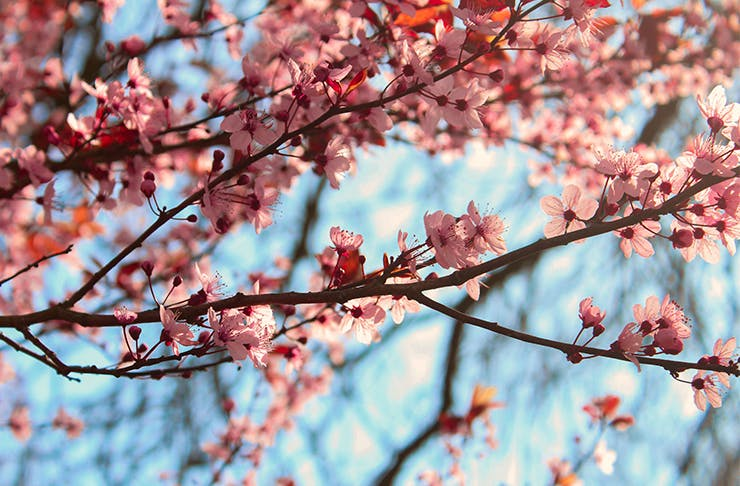 close up of a cherry blossom tree