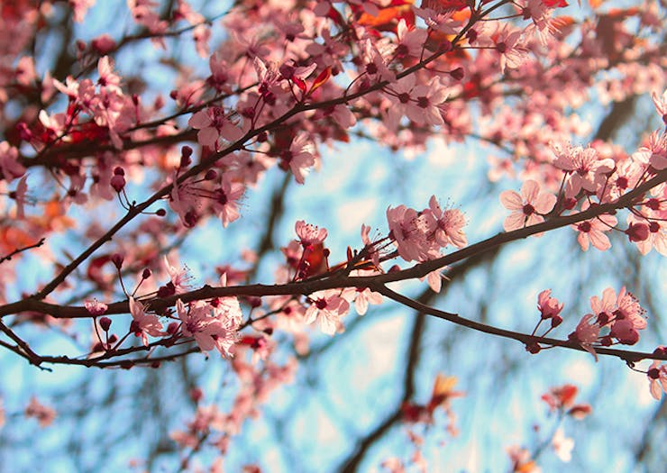 Here's Where To Find Cherry Blossom Trees In Perth