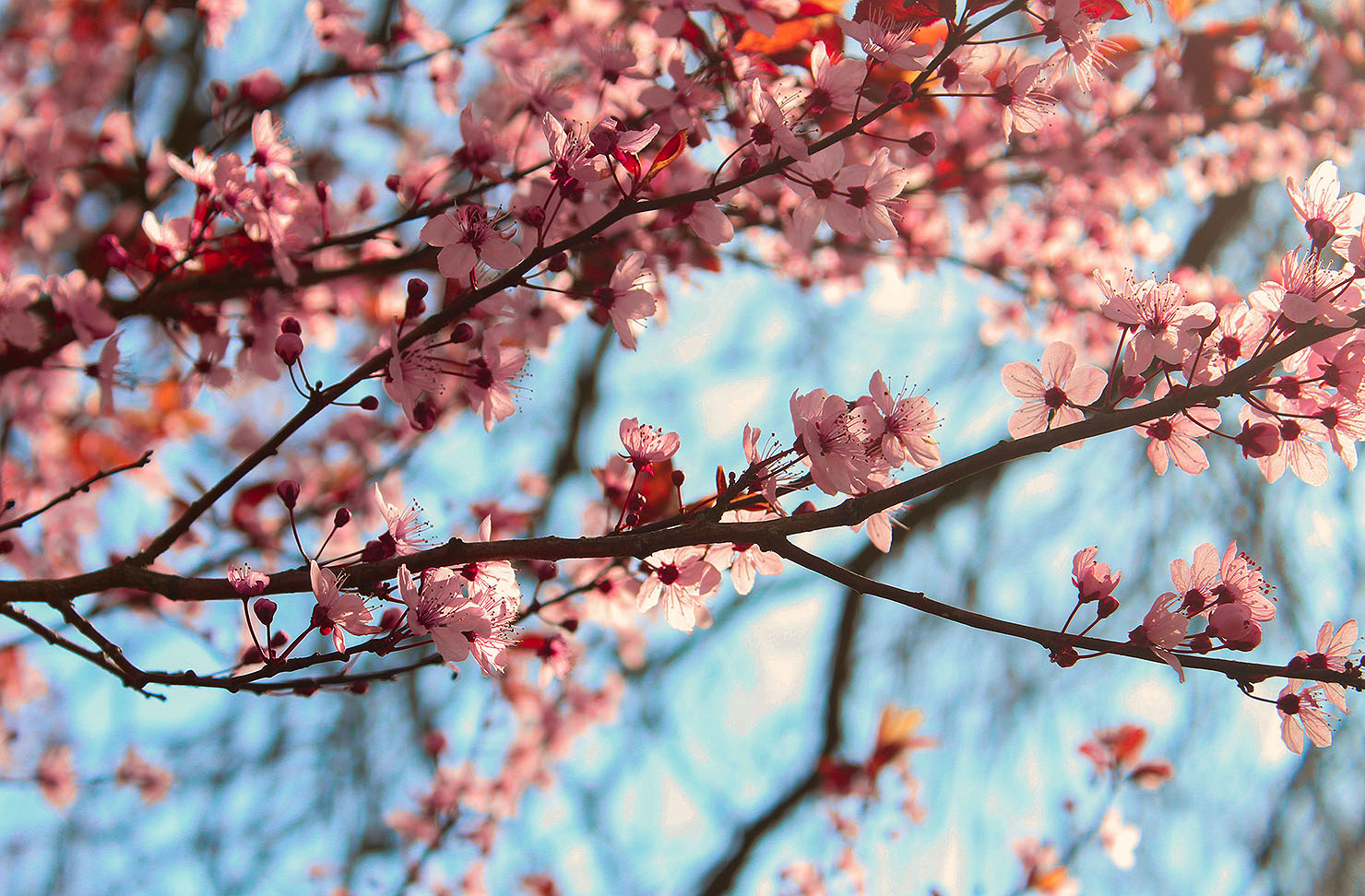 Beautiful close up shot of cherry blossom on the trees.
