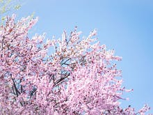 There's A Cherry Blossom Festival On In The Dandenongs This Week