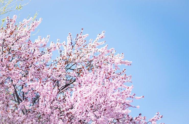cherryhill-blossom-festival