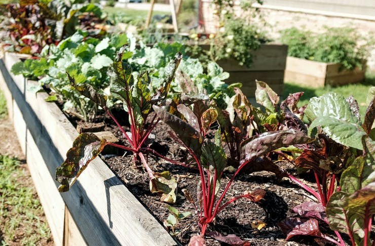 A raised vegetable garden filled with leafy greens.