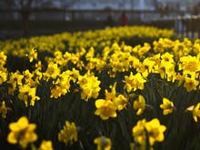 Say Goodbye To Winter At Victoria's Stunning Daffodil Festival