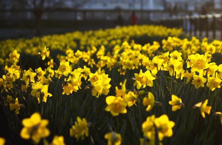 kyneton-daffodil-festival-victoria