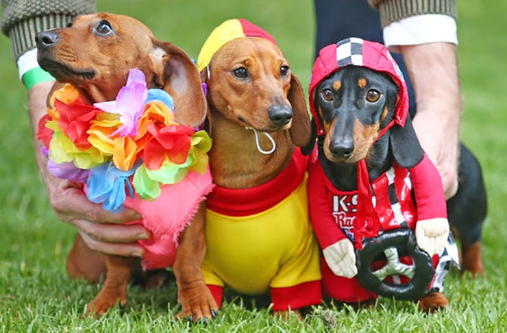 There's A Sausage Dog Race Coming To Auckland!