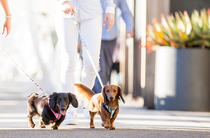 Two sausage dogs walking in the sun.