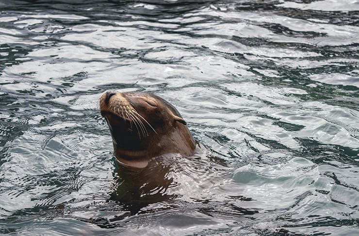 A seal popping its head out of the water with a playful look on its face.