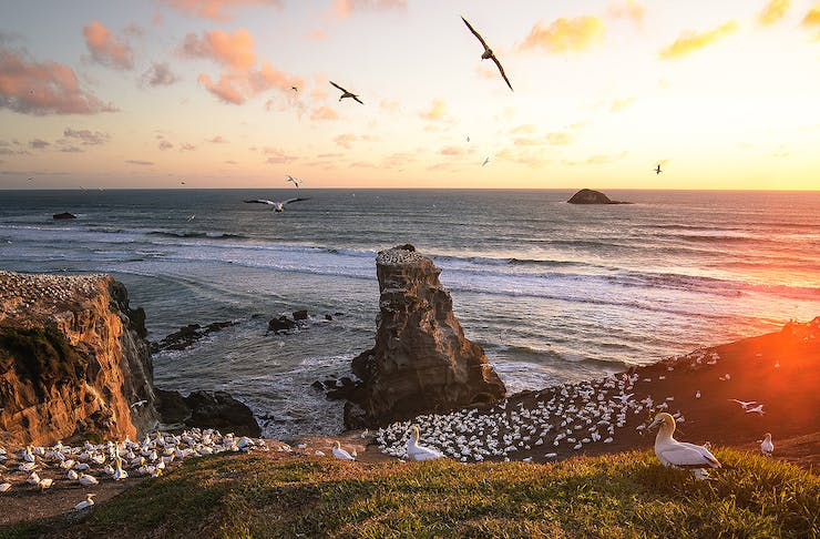 The gannet colony at Muriwai.