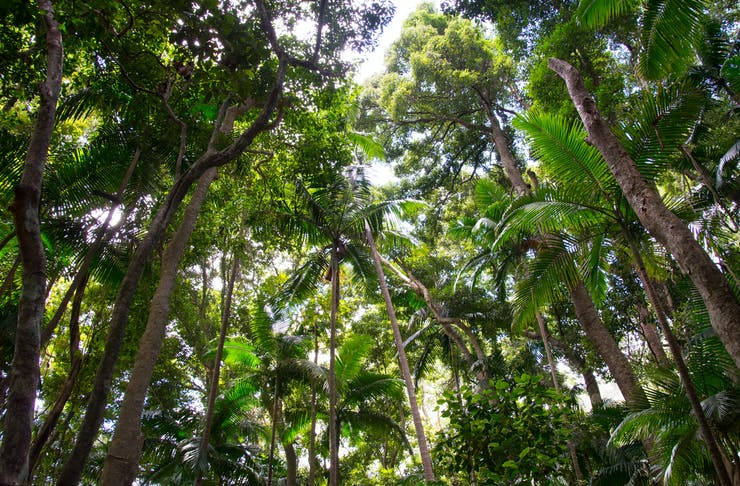 Looking up at a canopy of trees in a rainforest.