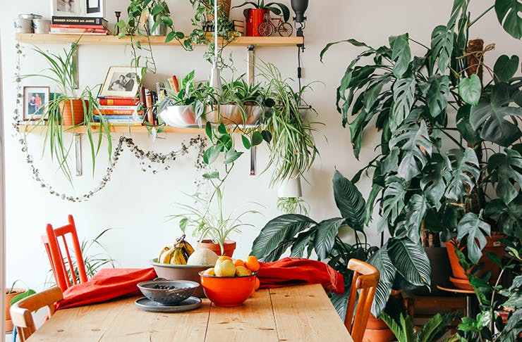 Sunlit dining room with indoor plants and vines hanging from shelves.