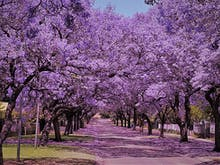 6 Of Brisbane's Most Beautiful Jacaranda Walks