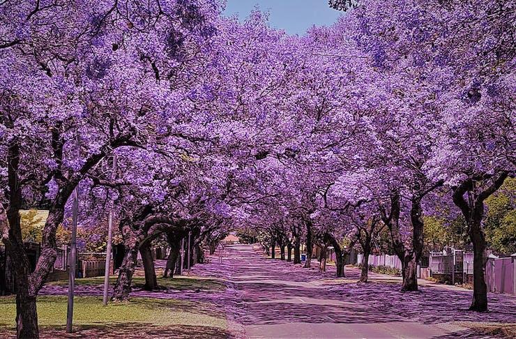 a road of jacarandas in bloom