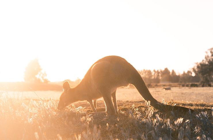 A kangaroo eating grass in the sunlight.
