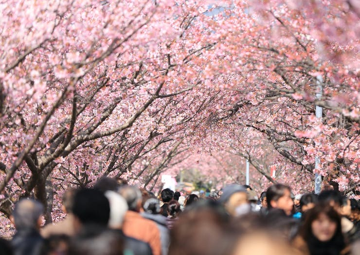Forget Tokyo | A Cherry Blossom Festival Is Taking Over Sydney This Month!