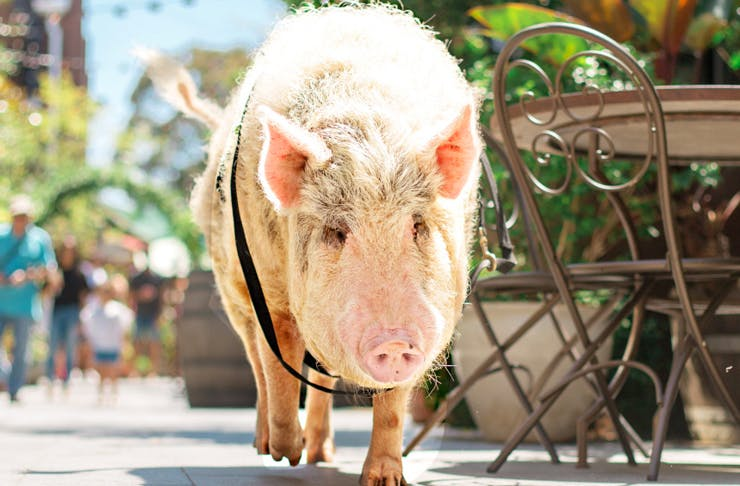 Kevin Bacon Pig
