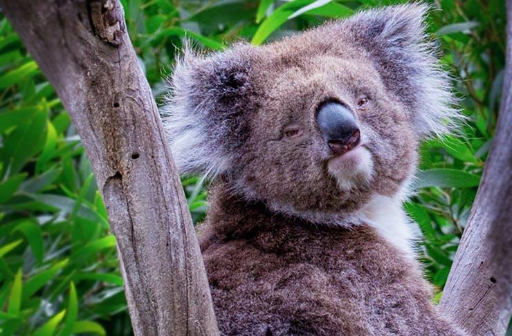 A koala climbing a gumtree while looking at the camera.