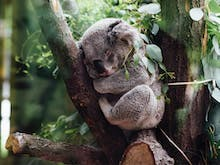 Say Awww, Lone Pine Sanctuary Is Letting You Watch Koalas On Live Stream 24/7