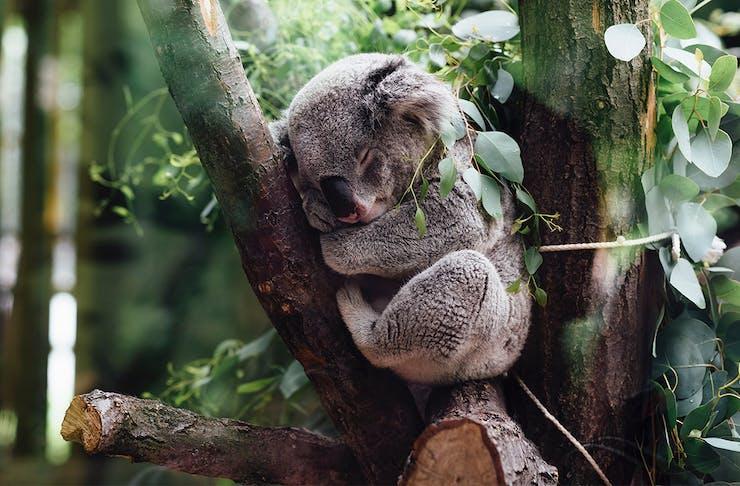 Lone Pine Koala Livestream