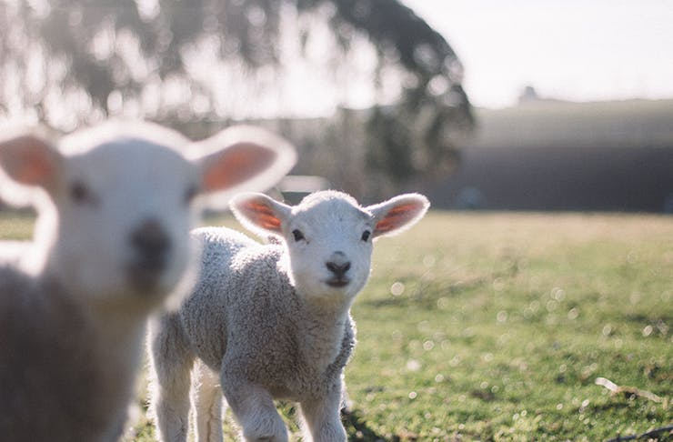 Two lambs in a grassy paddock, looking into the camera.
