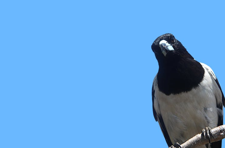 magpie-never-say-to-someone-from-the-hills-sydney
