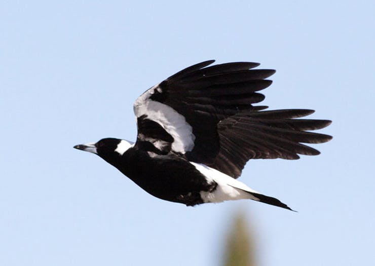 Find Out Where Magpie Swooping Hot Spots Are On The Gold Coast With This Handy Map
