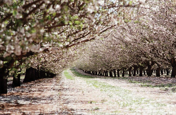 Here's Where To Check Out Almond Blossoms In Victoria This Weekend