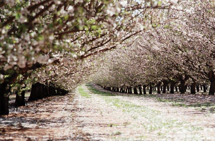 mallee-almond-blossom-festival