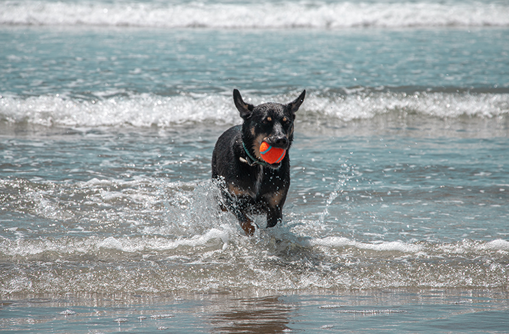 A kelpie at one of Melbourne's best dog beaches.