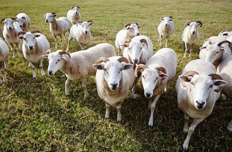 mornington peninsula nature sheep