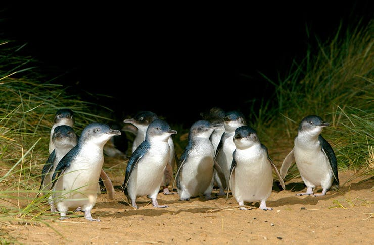 A group of Penguins on the beach at Phillip Island.