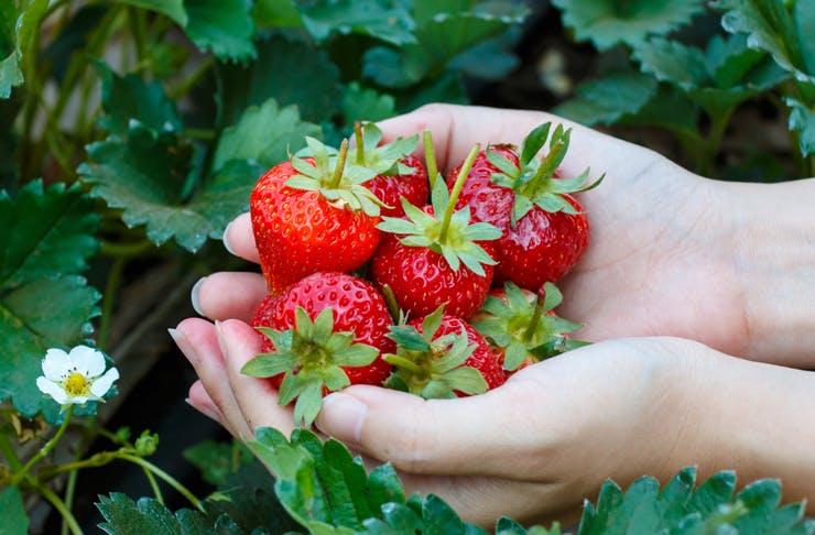 raspberry picking near me