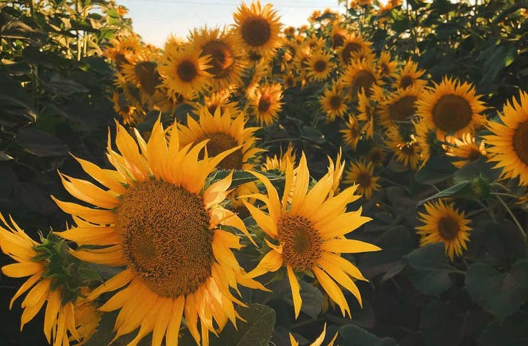 pick-your-own-sunflowers-melbourne