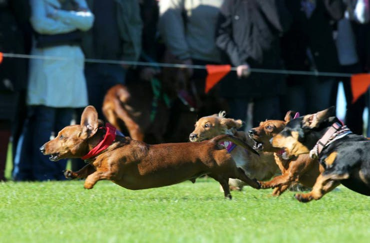 port-fairy-sausage-dog-race